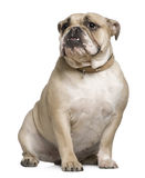 English Bulldog, 15 months old, sitting Royalty Free Stock Photos