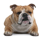 English Bulldog, 18 months old, lying Royalty Free Stock Images