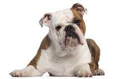English Bulldog, 18 months old, lying Royalty Free Stock Image