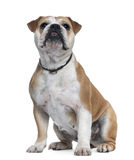 English Bulldog, 18 months old, sitting Stock Photos