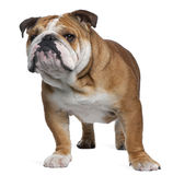 English Bulldog, 18 months old, standing Royalty Free Stock Image