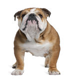 English Bulldog, 18 months old, standing stock photography