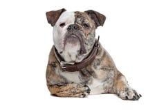 English bulldog Stock Photo