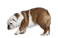 English bulldog, 19 months old, standing Royalty Free Stock Photos