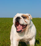 English bulldog. Nice portrait of yawning male english bulldog Stock Photos