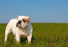 English bulldog. Nice portrait of  male english bulldog standing in the grass Stock Image