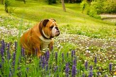 English Bulldog Stock Photography