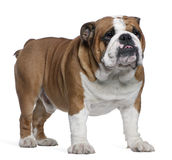 English Bulldog, 2 years old, standing Royalty Free Stock Images