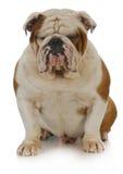 English bulldog Royalty Free Stock Photography