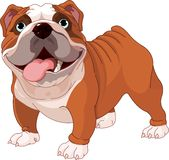 English bulldog. Standing in front of white background