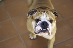 English bulldog. Face of english bulldog, adult Royalty Free Stock Photography
