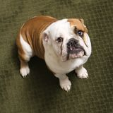English bulldog. Stock Image