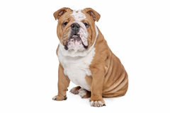 English Bulldog. In front of a white background Royalty Free Stock Photo