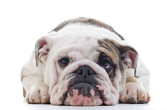English bulldog. Closeup of English bulldog head, laying dog, Shallow focus on eyes Royalty Free Stock Image