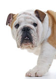 English Bulldog Royalty Free Stock Images
