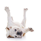 English Bulldog. Rolling over floor, laying upside down, high key Stock Image