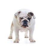 English bulldog Royalty Free Stock Image