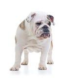 English bulldog Royalty Free Stock Photo