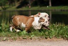 English bulldog_3 Royalty Free Stock Photo