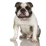 English Bulldog (3 years) Stock Photo