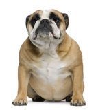 English Bulldog, 3 years old, sitting Royalty Free Stock Photos