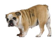 English Bulldog, 3 years old, standing Stock Photo