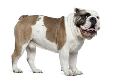 English bulldog, 3 years old, standing Stock Photo