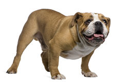 English Bulldog, 4 years old, standing Stock Images