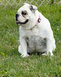English Bulldog. White English Bulldog sitting outside in green grass Stock Images