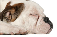 English Bulldog, 5 and a half months old, lying Stock Images