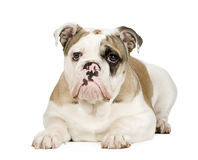 English Bulldog (5 months) stock photography