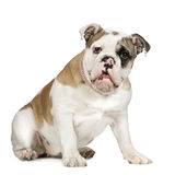 English Bulldog (5 months) Stock Images