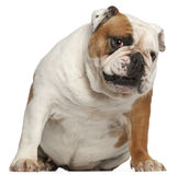 English Bulldog, 5 years old, sitting Royalty Free Stock Images