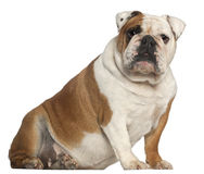 English Bulldog, 5 years old, sitting Royalty Free Stock Photos