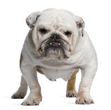 English Bulldog, 5 years old, standing Royalty Free Stock Photos