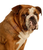 English bulldog. Nine month old english bulldog puppy - champion bloodlines Stock Photos