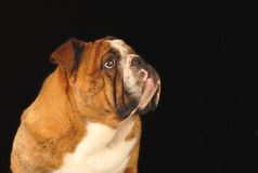 English bulldog. Nine month old female bulldog studio portrait - champion bloodlines Royalty Free Stock Photo