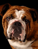 English bulldog. Red brindle english bulldog female - 9 months old - champion bloodlines Royalty Free Stock Photo