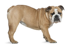 English bulldog, 6 months old Royalty Free Stock Photography