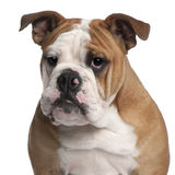 English bulldog, 6 months old Stock Photos