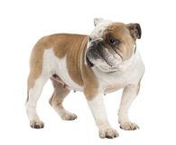 English Bulldog (6 years old) Stock Images