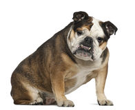 English Bulldog, 6 years old, sitting Stock Photography