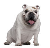 English Bulldog, 7 years old, sitting Royalty Free Stock Images