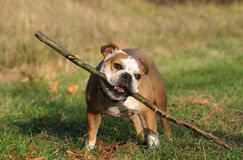 English bulldog Royalty Free Stock Image
