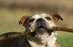 English bulldog Royalty Free Stock Photography