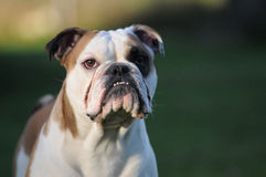 English Bulldog. A Portrait of an english bulldog male with a very strange expression Stock Images