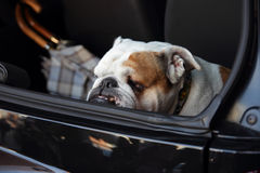 English bulldog. Acting as car alarm in luggage compartment Royalty Free Stock Photos