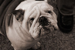 English bulldog in America Royalty Free Stock Photography