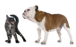 English bulldog and angry cat Stock Photo