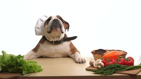 English Bulldog as a chef standing cooking healthy meal stock footage